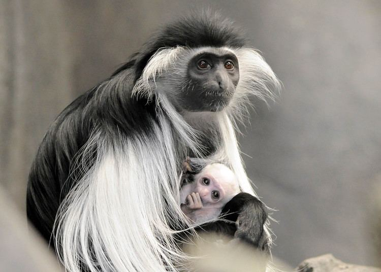 Angola colobus Brookfield Zoo Angolan Colobus Monkey Baby Born PHOTOS The