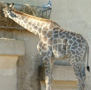 Angolan giraffe Angolan Giraffe