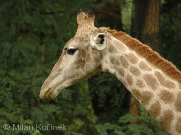 Angolan giraffe Image Giraffa giraffa angolensis Angolan Giraffe BioLibcz