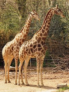 Angolan giraffe wwwzootierlistedeimagedb1160601a56c3e82Angol