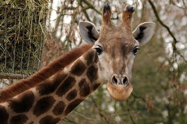 Angolan giraffe Angolan giraffe ZooChat
