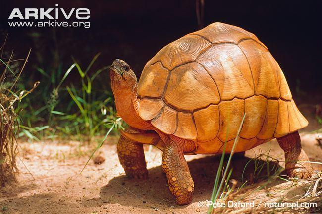 Angonoka tortoise Ploughshare tortoise photo Astrochelys yniphora G8873 ARKive
