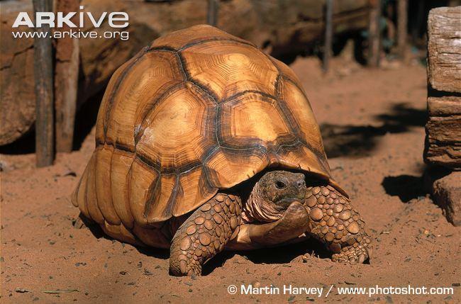 Angonoka tortoise Ploughshare tortoise photo Astrochelys yniphora G9464 ARKive