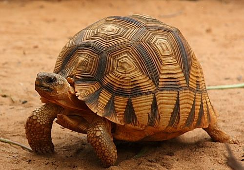 Angonoka tortoise Ploughshare Tortoise Facts and Pictures Reptile Fact