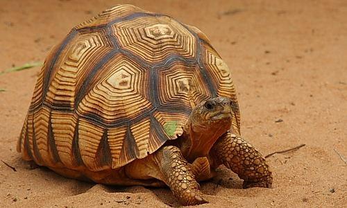Angonoka tortoise Madagascar Conservation The Angonoka Tortoise