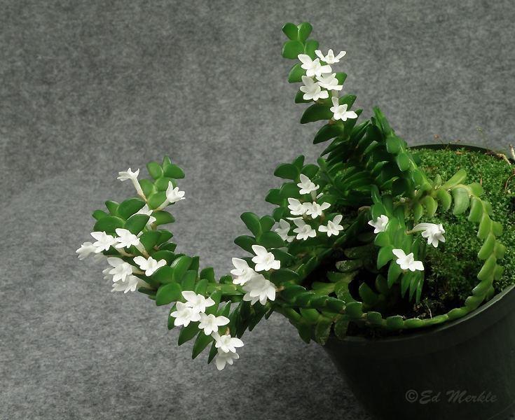 Angraecum distichum Angraecum distichum Orchids Forum