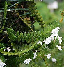 Angraecum distichum httpsuploadwikimediaorgwikipediacommonsthu
