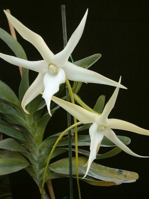 Angraecum sesquipedale Angraecum sesquipedale Star of Bethlehem orchid Darwin39s orchid