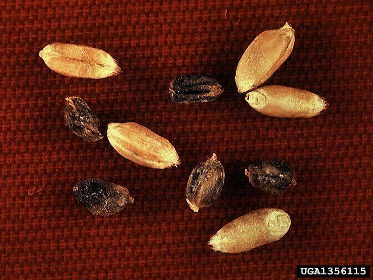 Anguina (nematode) wheat seedgall nematode Anguina tritici Tylenchida Anguinidae