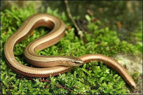 Anguis fragilis Anguis fragilis II Slow worm Anguis fragilis in Thayatal Flickr