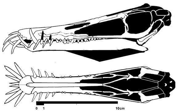Angustinaripterus angustinaripterus588jpg