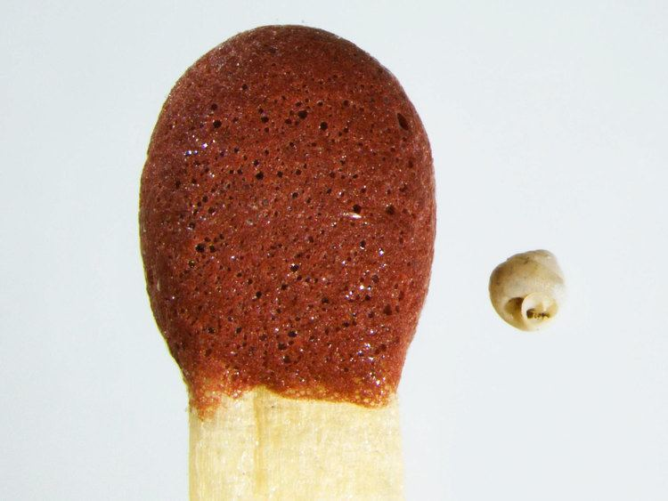 Angustopila dominikae Newly Discovered Snails Fit in Eye of a Needle