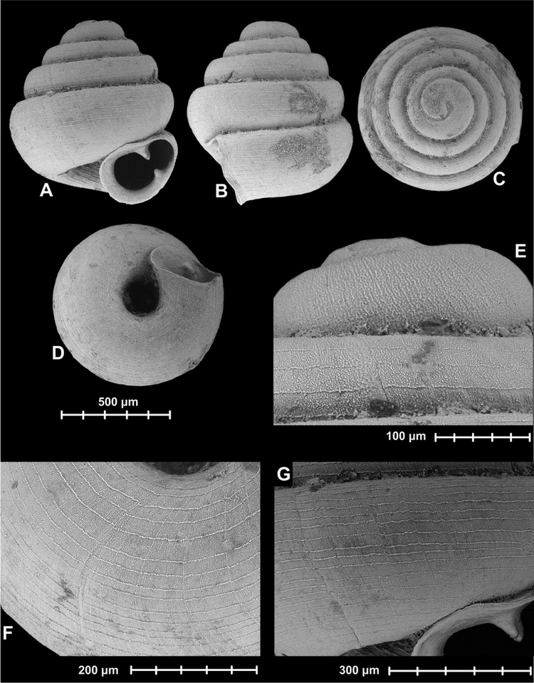 Angustopila dominikae Seven new hypselostomatid species from China including some of the