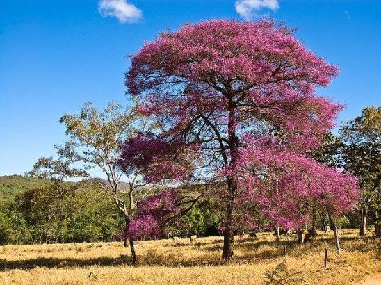 Aniba rosaeodora PauRosa Aniba rosaeodora Ducke no tronco da rvore que est o