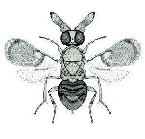Anicetus communis