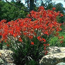 Anigozanthos Anigozanthos 39Dwarf Delight39 Growing Native Plants