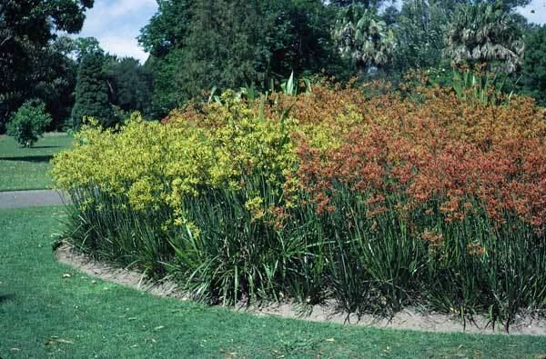 Anigozanthos flavidus Anigozanthos flavidus Growing Native Plants