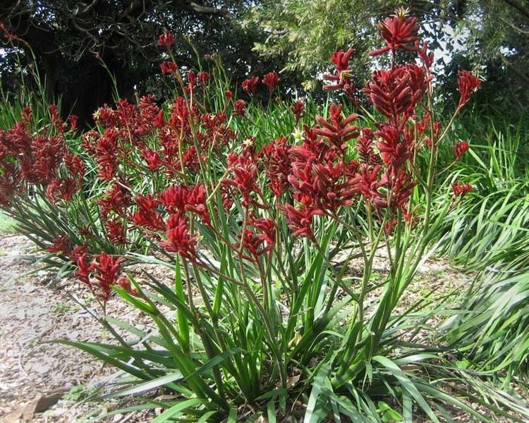 Anigozanthos flavidus GardensOnline Anigozanthos flavidus
