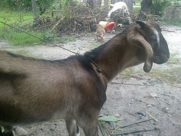 Animal husbandry in Nepal