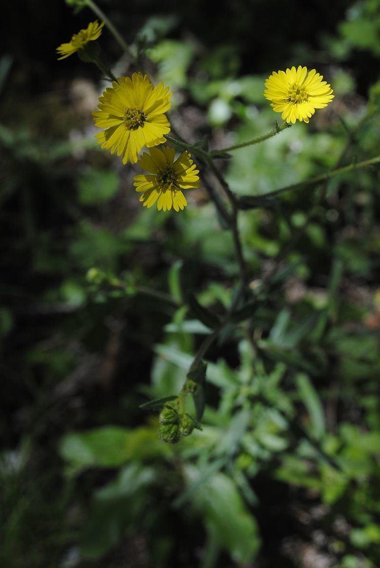 Anisocarpus