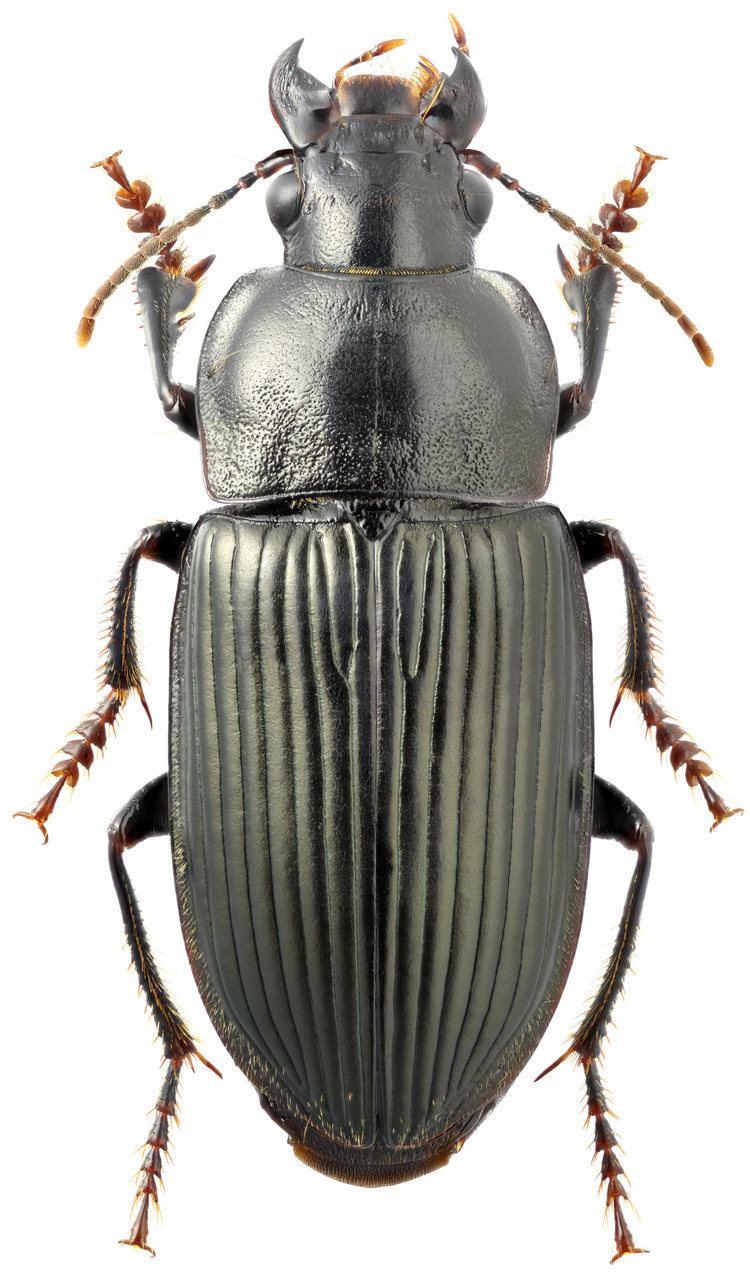 Anisodactylus Genus Anisodactylus Dejean 1829a 132 Carabidae