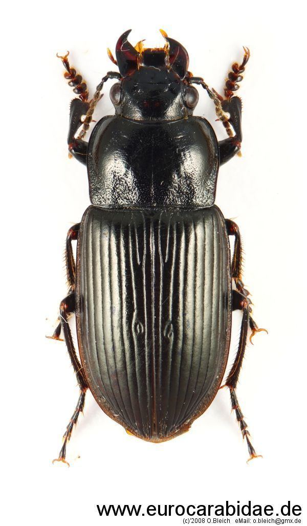 Anisodactylus Anisodactylus signatus