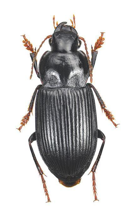 Anisodactylus Subgenus Anisodactylus sensu stricto Carabidae
