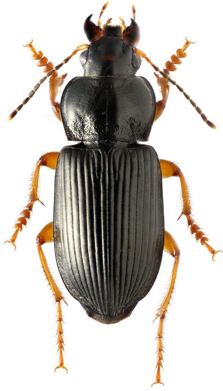 Anisodactylus carabidaeorgcarabidaeAnisodactylus20Anisodacty