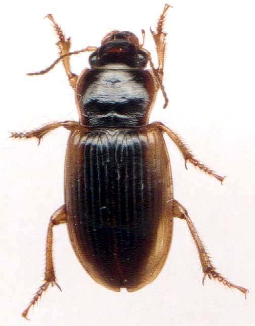 Anisodactylus anisodactylus