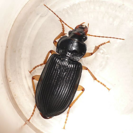 Anisodactylus Ground beetle Anisodactylus verticalis BugGuideNet