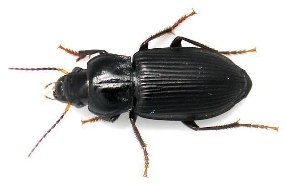 Anisodactylus Vinegar Sprayer Anisodactylus binotatus BugGuideNet