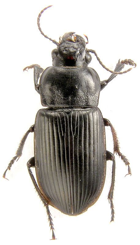 Anisodactylus Anisodactylus Pseudanisodactylus signatus Panz 1796