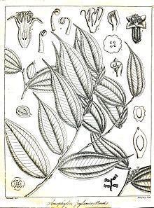 Anisophyllea cinnamomoides httpsuploadwikimediaorgwikipediacommonsthu