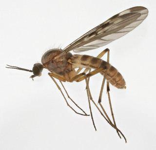 Anisopodidae Anisopodidae Wood gnats Discover Life