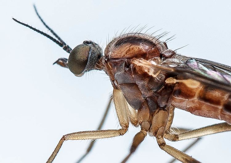 Anisopodidae Anisopodidae Sylvicola fenestralis female by stevecloke on DeviantArt