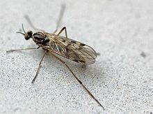 Anisopodidae httpsuploadwikimediaorgwikipediacommonsthu