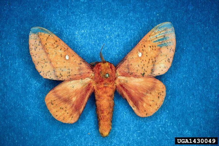 Anisota stigma Spiny Oakworm Moth Anisota stigma iNaturalistorg