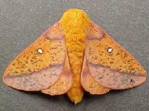 Anisota stigma Moth Photographers Group Anisota stigma 7716