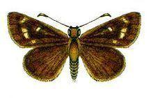 Anisynta cynone httpsuploadwikimediaorgwikipediacommonsthu