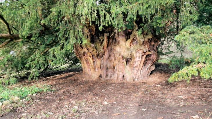 Ankerwycke Yew The Ankerwycke Yew One of Britain39s Oldest Trees BaldHiker