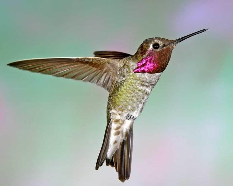 Anna's hummingbird Anna39s Hummingbird Audubon Field Guide