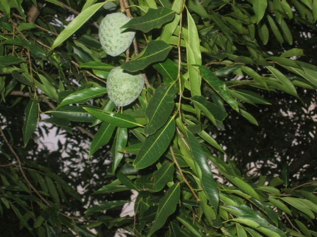 Annona cacans nargilirplantimagespic111220151207230153Anno
