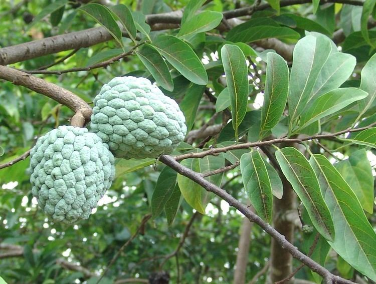 Annona squamosa Custard apple abortifacient herb herb inducing abortion Annona