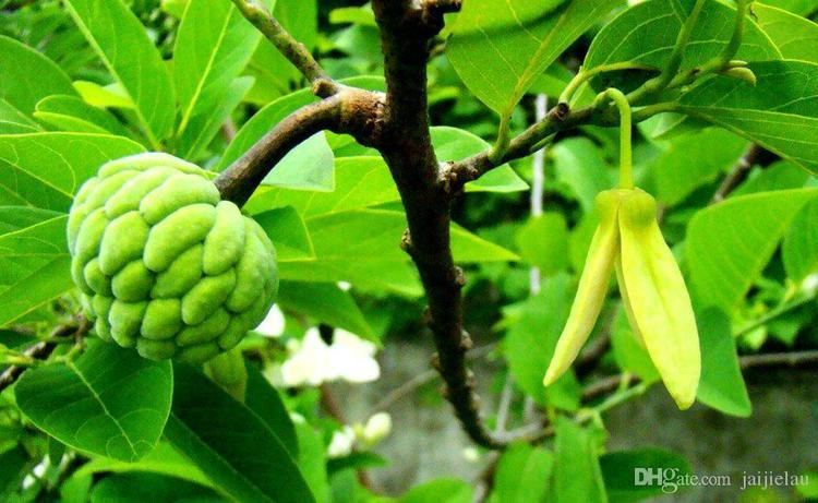 Annona squamosa 2016 Novel Plant Widely Cultivated Annona Squamosa Seeds Chinese