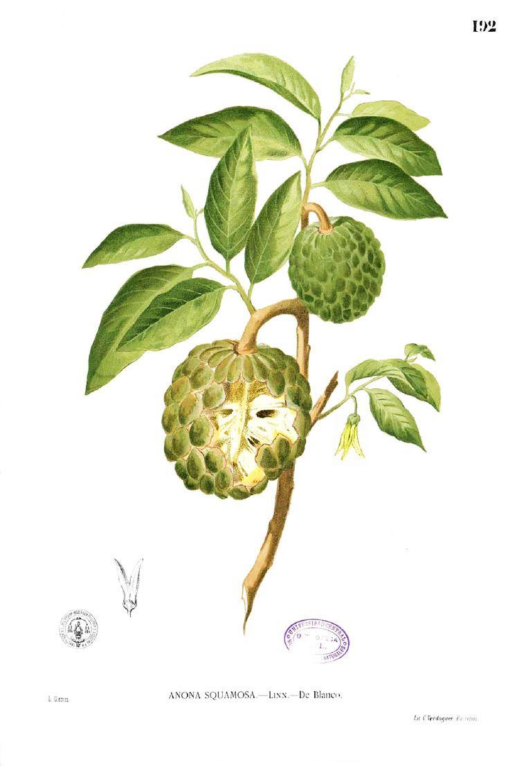 Annona squamosa uploadwikimediaorgwikipediacommons44dAnnona
