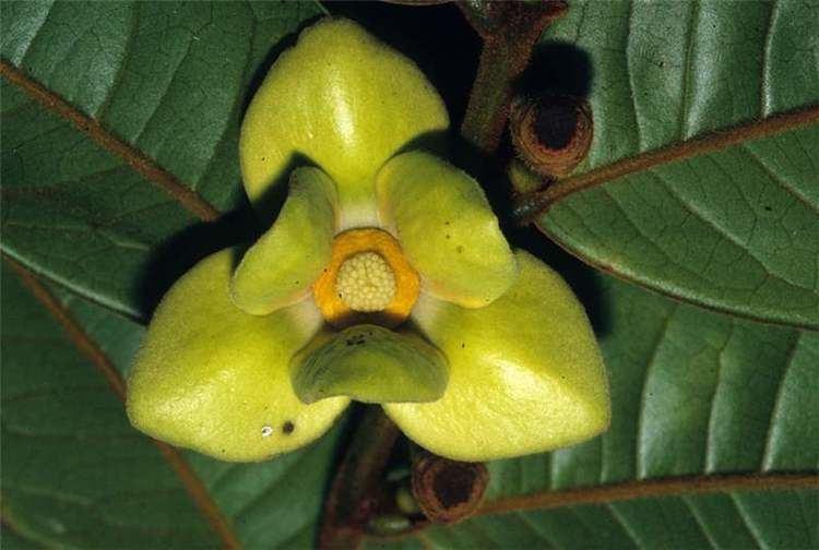 Annonaceae Neotropical Annonaceae Neotropikey from Kew