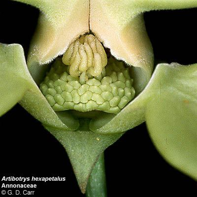 Annonaceae Flowering Plant Families UH Botany