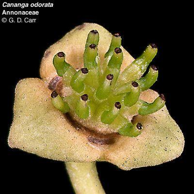 Annonaceae wwwbotanyhawaiiedufacultycarrimagescanodo