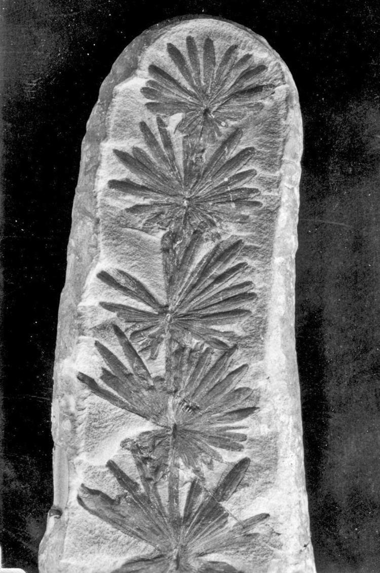 Annularia Calamites carinatus Annularia stellata Calamites calamariophyllum