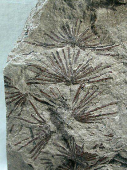 Annularia Annularia Plant Fossils